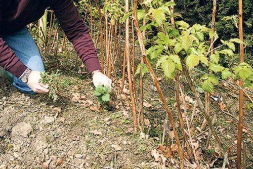 Малина выращивание и уход обрезка