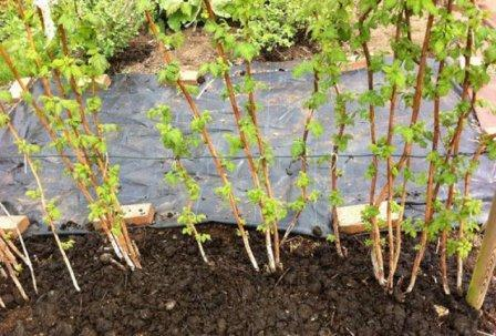 Малина уход выращивание