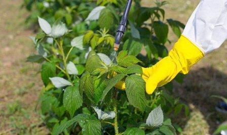 Методы борьбы с вредителями малины