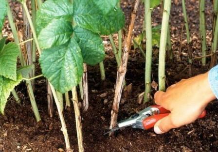 Борьба с вредителями малины весной