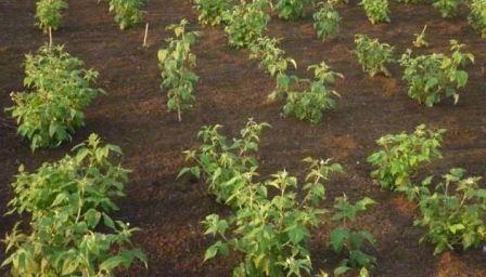 Выращивание малины и обрезка