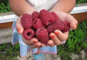 Сорта малины для средней полосы России фото