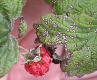 Болезни малины и способы лечения