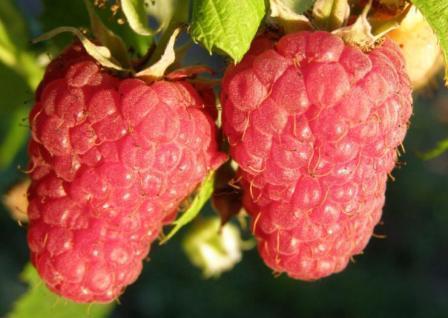 Особенности выращивания малины Барнаульская