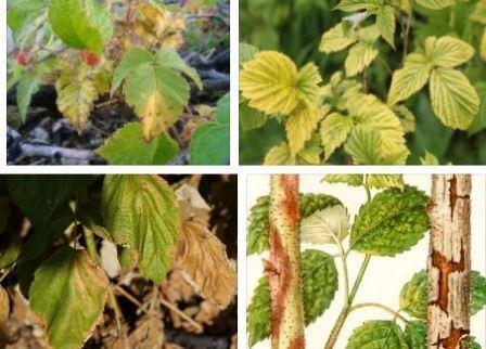 Выращивание малины грунт