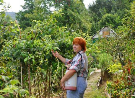 Вредители и болезни малины: народные средства борьбы