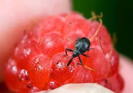 Народные рецепты борьбы с вредителями малины, фото