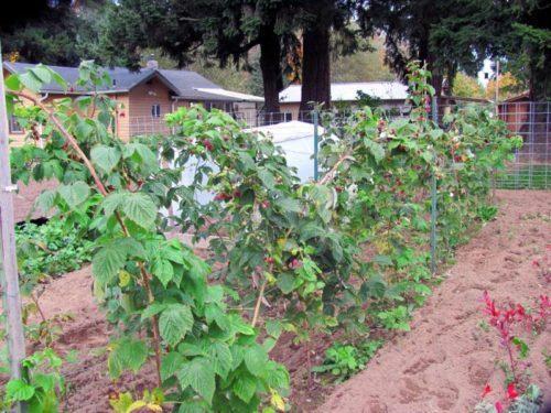 Малина выращивание, уход и обрезка
