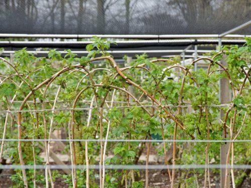 Размножение малины и выращивание малины