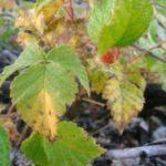 Вирусные болезни малины, фото