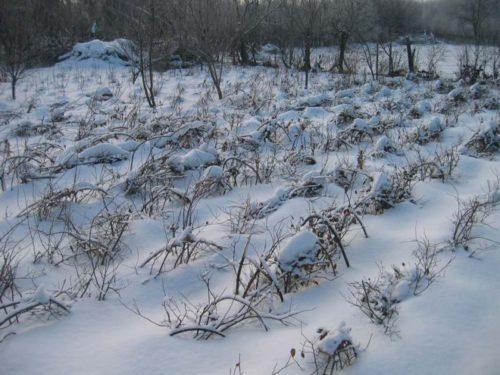 Малина особенности выращивания в Сибири