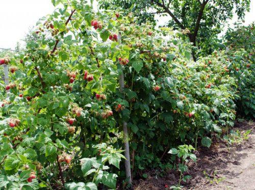 Малина сорта выращивание
