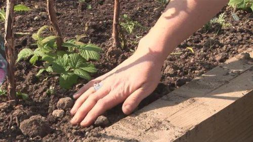 Малина уход и выращивание