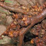 Бактериально-грибковые заболевания малины, рак малины, фото