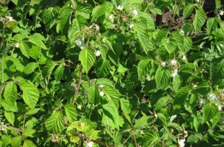 Обработки малины от вредителей и болезней