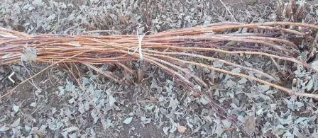 Выращивание малины душистой (малиноклен)