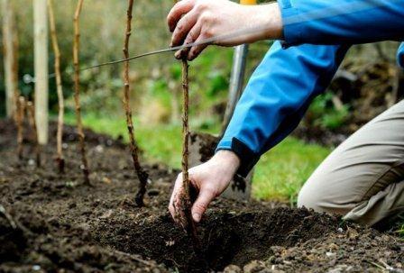 Особенности выращивания малины душистой