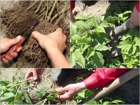 Выращивание малины в домашних условиях