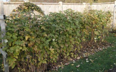 Особенности выращивания малины