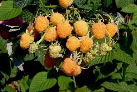 Ремонтантная малина: выращивание