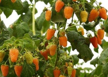 Условия выращивания малины Оранжевое чудо