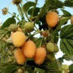 Сорт малины Золотая осень, фото