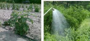 Ремонтантная малина: выращивание и фото
