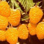 Желтая малина, фото и описание