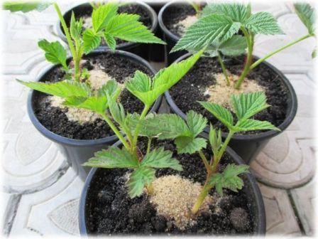 Размножение ремонтантной малины черенками в домашних условиях
