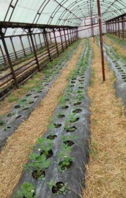 Выращивание малины в теплице