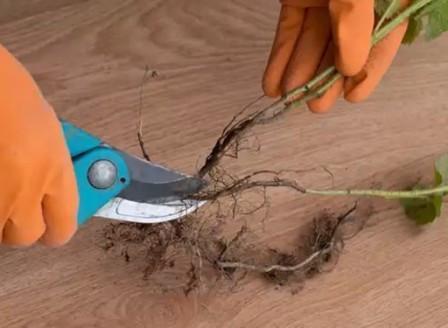 Размножение малины черенками самостоятельно