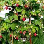 Сорт малины Крепыш, фото