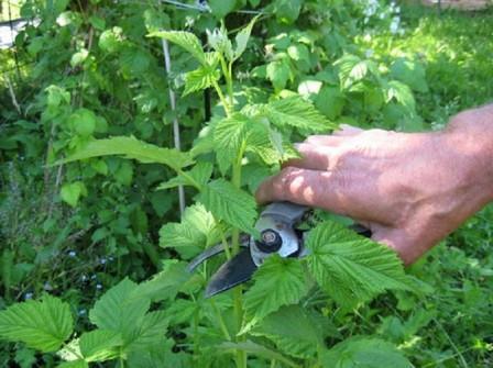 Малина уход и выращивание обрезка