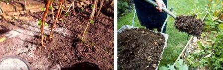 Малина: уход, выращивание, фото