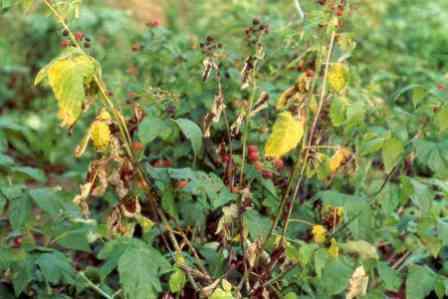 Болезни малины описание и способы лечения