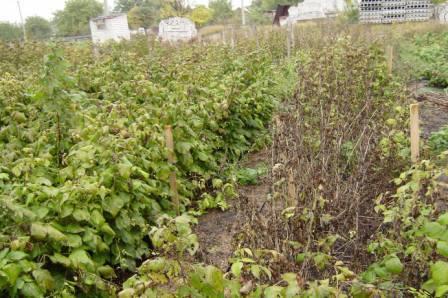 Обработка малины весной +от вредителей и болезней