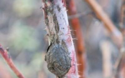 Жедтеют листья малины причины
