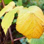 У малины желтые листья