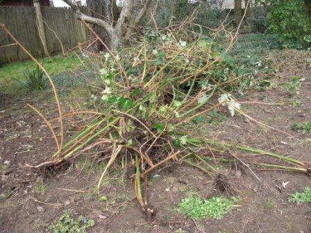 Уход за малиной: желтые листья