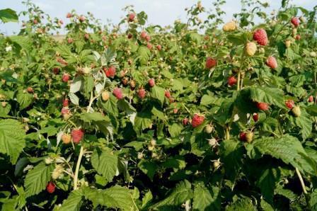 Выращивание малины Карамелька