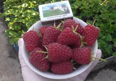 Малина: выращивание и уход