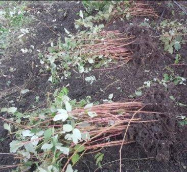 Выращивание малины и посадка