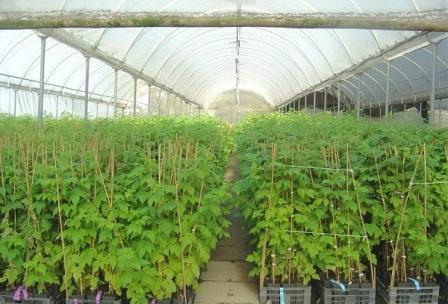 Малина из семян выращивание в теплице