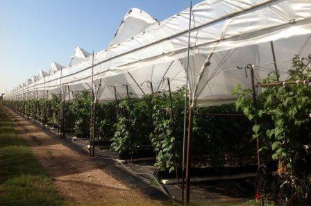Малина: сорта и выращивание
