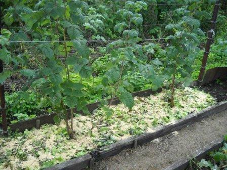 Выращивание малины: грунт, мульчирование