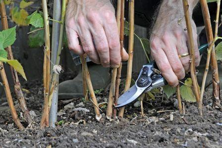 Малина: уход выращивание