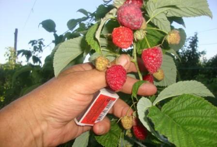 Малина Августин: особенности выращивания