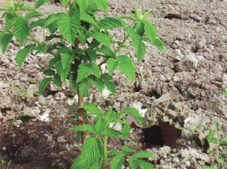 Малина Августина: уход и выращивание