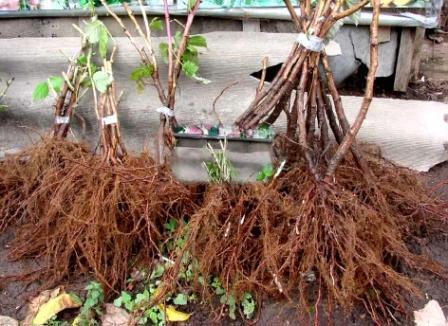 Малина: уход и выращивание