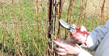 Ремонтантная малина выращивание и уход обрезка весной
